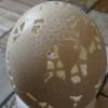 Straußenei 4 - als Lampenschirm geschliffen und gelocht- Motiv: Wein, Bild 1